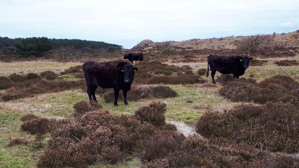 Hardlopen in Schoorl - Schotse Hooglanders